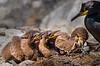 European Shag nesting with Chicks - Farne Islands