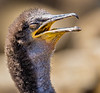 Braving a new world, New born Shag, Staple Island