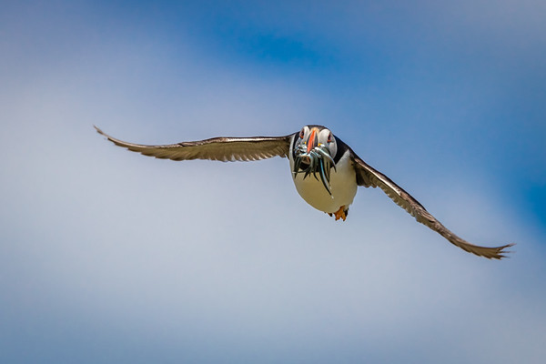 Bringing home the bacon - Puffin, Farne Islands