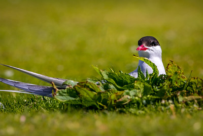 Peeping from its nest - Arctic Tern, Farne Islands
