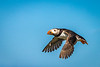 Clear Skies! - Puffin in Flight, Farne Islands