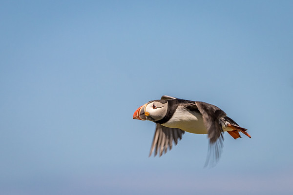 Bullet Bird! - Atlantic Puffin, Farne Islands