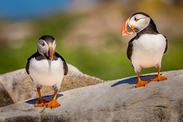 Chin Up Lad, Here come the Puffarazzi-Farne Island