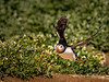 Houston, we have Lift Off! - Puffin, Farne Islands