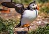 Let's do the cha cha! - Atlantic puffin, Farne