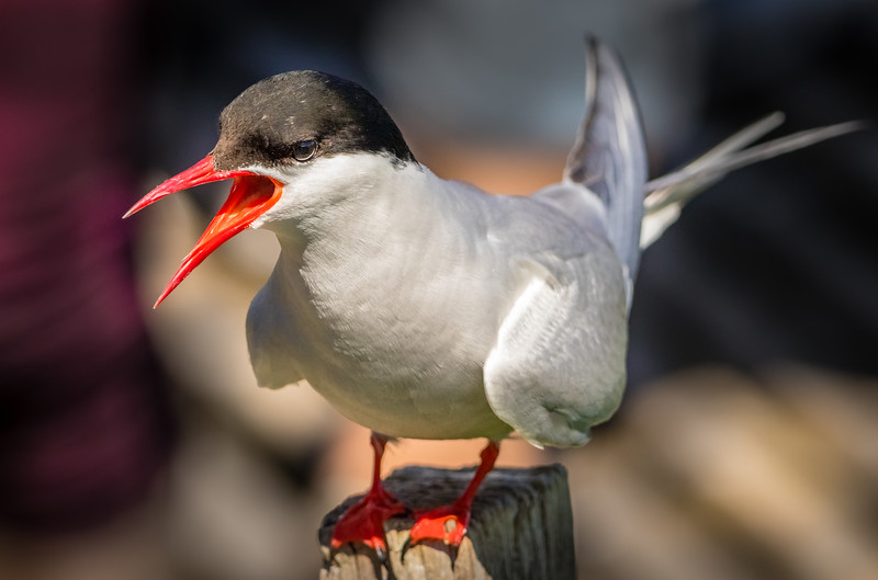Stay Away - Arctic Tern Alarm Call, Farne Islands