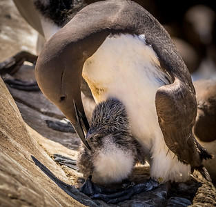Preening the kid, Guillemot, Staple Island