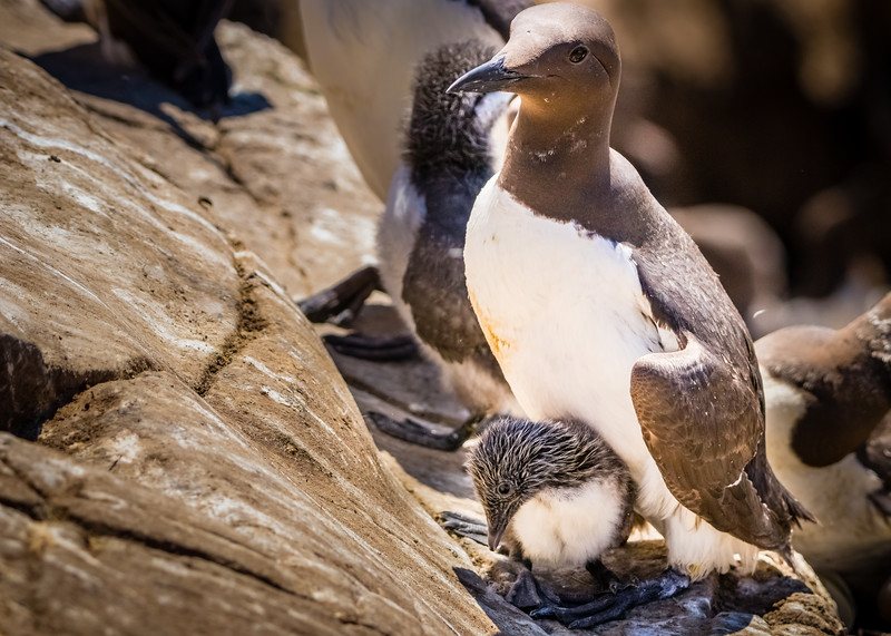 Common Guillemot with its Chick - Staple Island