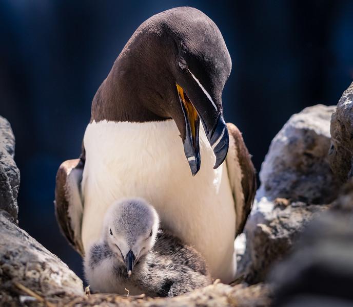 Razorbill with Chick, Farne Islands