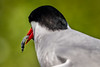 Eye of the Fish - Tern feeding, Farne Islands