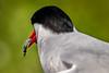 Eye of the Fish - Tern feeding, Farne Islands