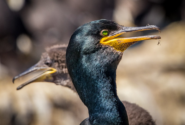 Mom's Mirror Image - Shag and Chick, Staple Island