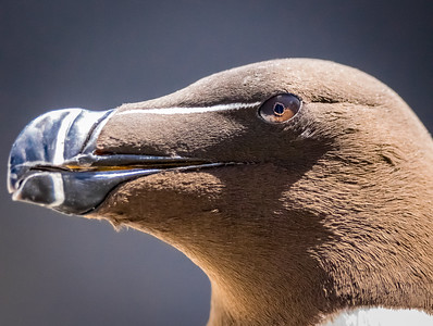 All in the Eye! - Razorbill, Farne Islands
