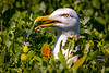 Caught! - Great black-backed gull, Staple Island