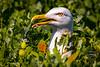 Caught! - Great black-backed gull, Staple Island