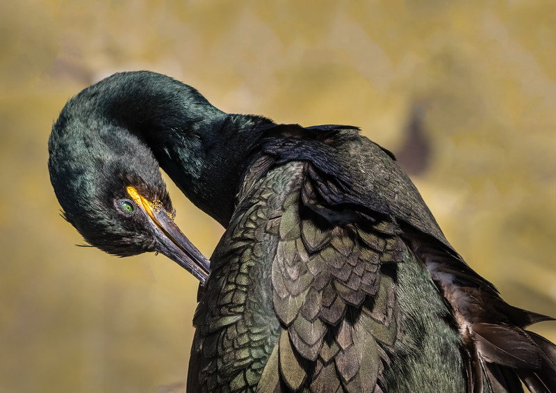 Scratch That Itch, European Shag - Farne Islands