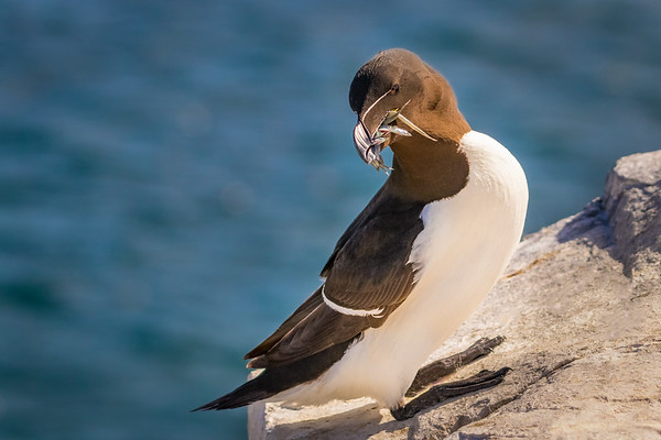 Standing Proud! - Razorbill, Farne Islands