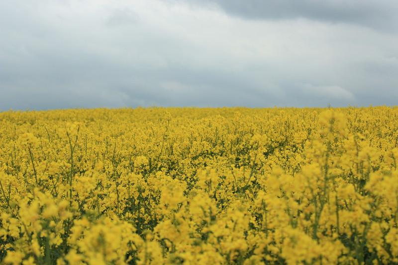 Canola Fields, Saffron Walden, UK