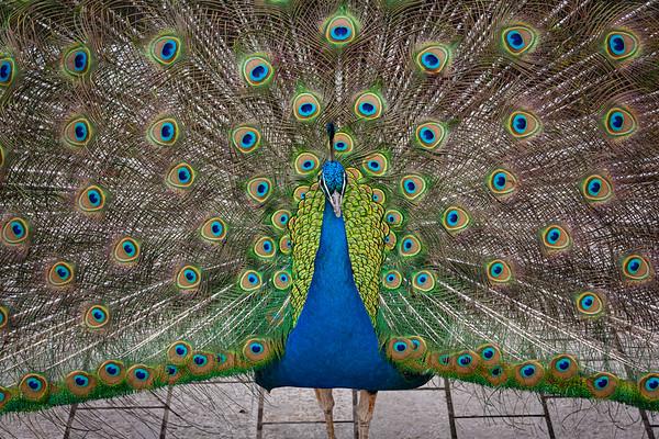 Peacock in Bodnant Gardens