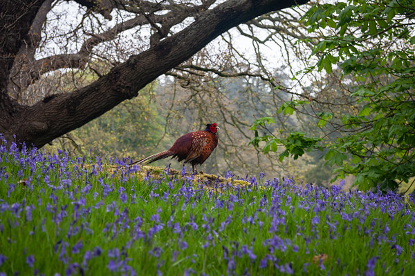 Pheasant in Bodnant Garden