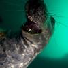 Playful grey seal