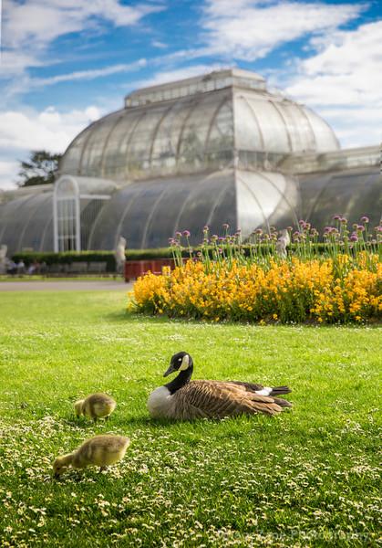 Ducks in front of green house in Kew Garden London