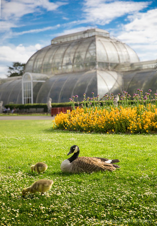 Ducks in front of green house in Kew Garden London