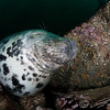 Grey seals in the Farne Islands