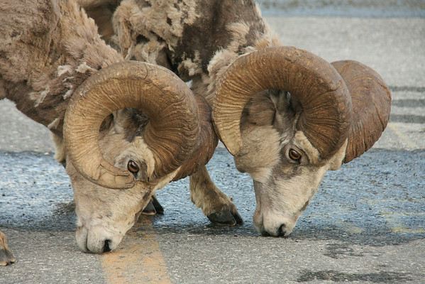 Bighorn Sheep, licking the salt off the road