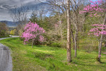 Redbuds along a country road, Botetourt County
