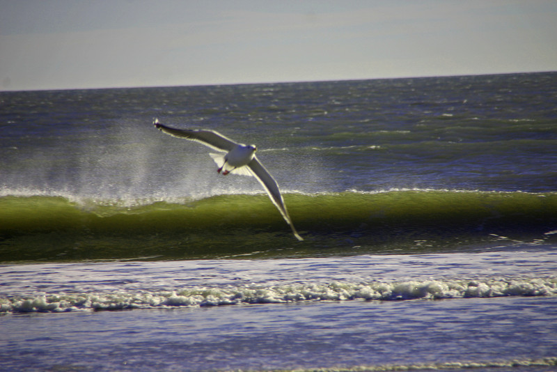 Sea Gull over Waves