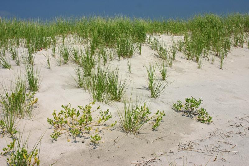 Dune, Dune Grass