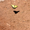 Butterfly - Vultee Arch Trail