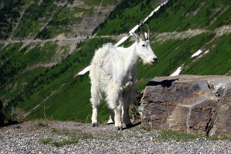 Mountain Goat - Logan Pass