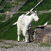 Mountain Goat - Logan Pass