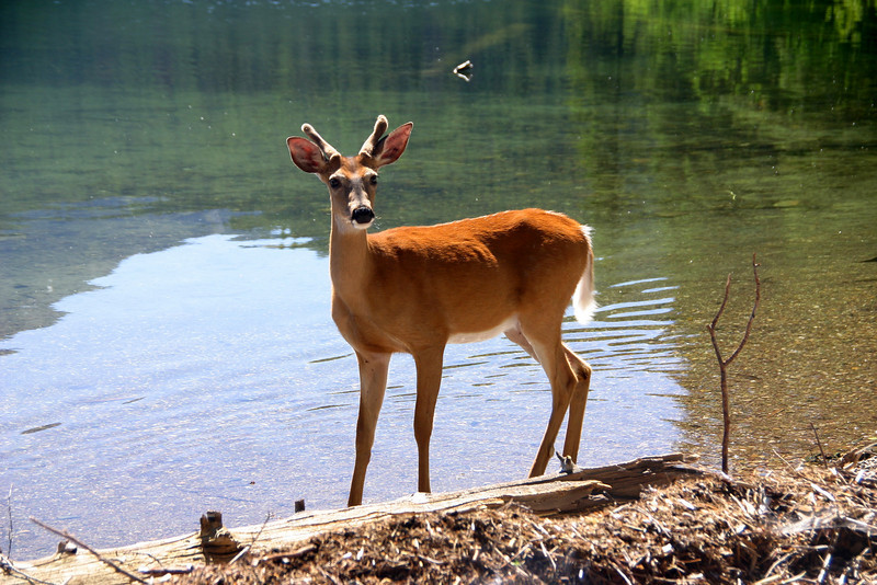 White Tail Deer - Quartz Lake