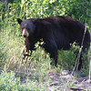 Bear - Going to the Sun Road