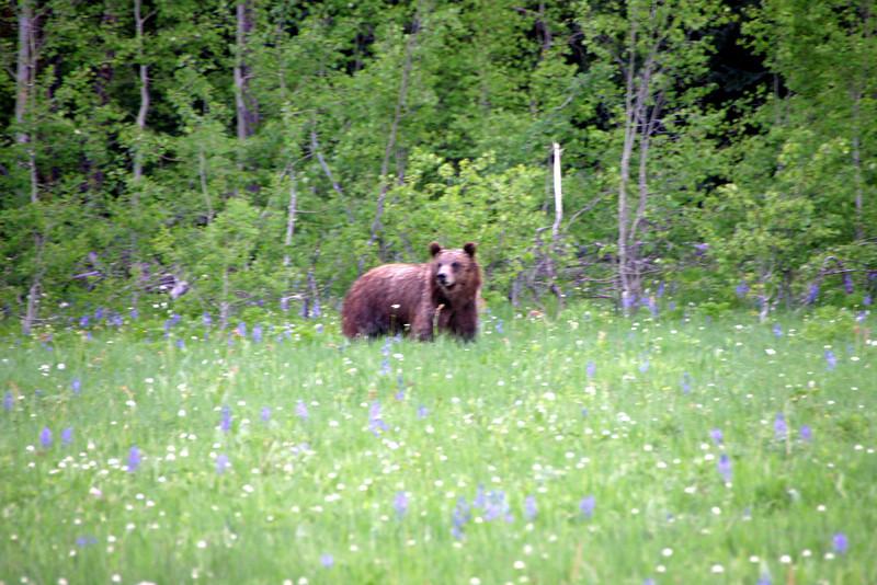 Bear -  Flagg Ranch