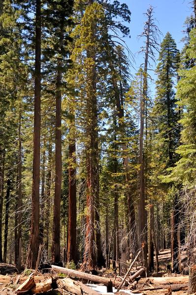 Lower Mariposa Grove   Yosemite National Park, California