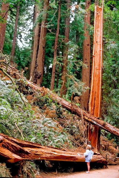 Fallen giants   Muir Woods National Monument, California