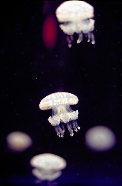 Jellyfish   Monterey Aquarium   Monterey, California