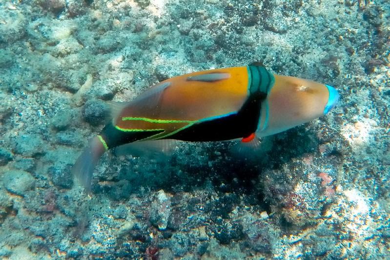Humuhumunukunukuapuaa Pauoa Bay, Hawaii