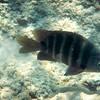 Blackspot Sergeantfish Pauoa Bay, Hawaii