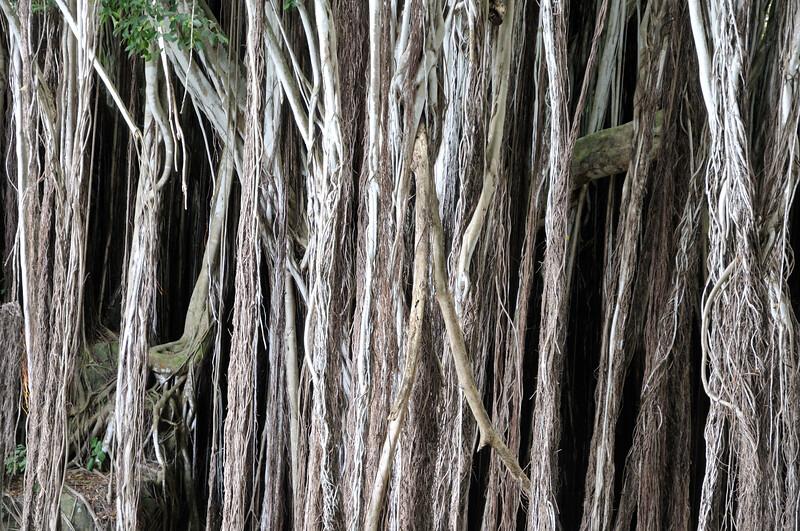 Banyan Tree   Oahu, Hawaii