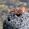 Hawaiian red crab  The Big Island, Hawaii