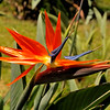 Bird of Paradise flower   Oahu, Hawaii