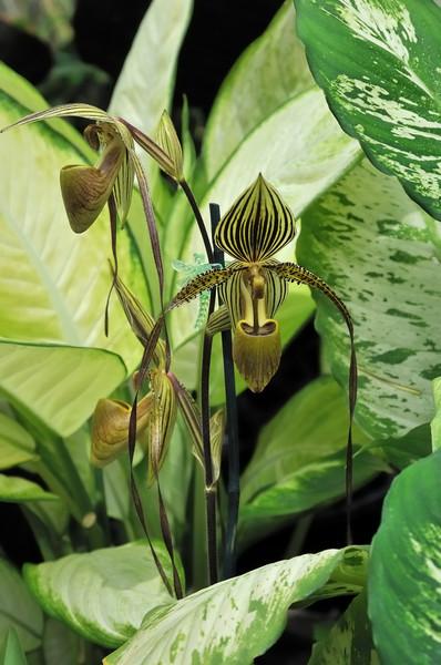 Orchid   Foster Botanical Garden   Oahu, Hawaii