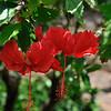 Hibiscus  Audobon Botanical Gardens  Oahu, Hawaii