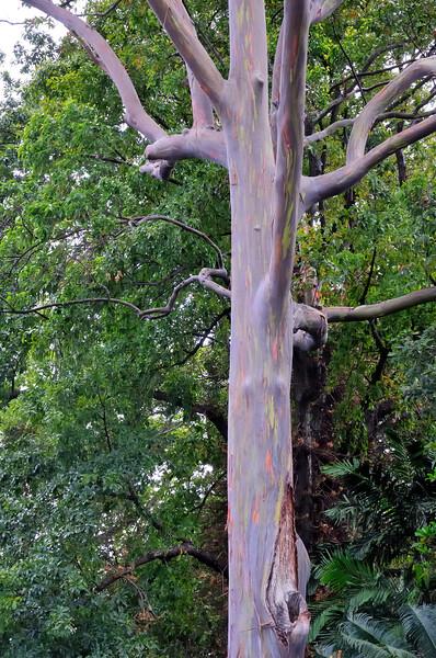 Rainbow Eucalyptus tree   Oahu, Hawaii