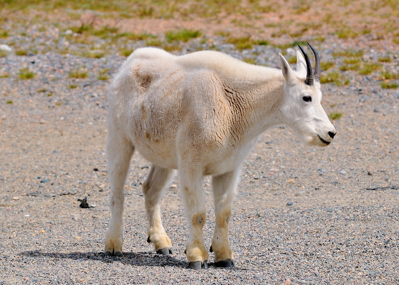 White Mountain Goat  Wyoming